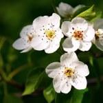 White apple bloom — Stock Photo