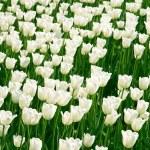 White tulips field — Stock Photo #2608638