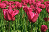 Two pink tulips — Stock Photo