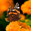 Bright autumn butterfly — Stock Photo #2331127