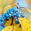 Blue berries - Stock Photo