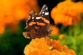 Bright autumn butterfly — Stock Photo