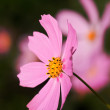 Pink cosmos flower - Stock Photo