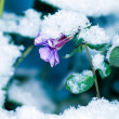 Stock Photo: Don't forget me under snow