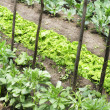Vegetable garden - Photo