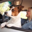 Jack Russell Terrier Dog Enjoys Car Ride — Stock Photo #2345792
