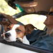 Jack Russell Terrier Dog Enjoys Car Ride — Stock Photo