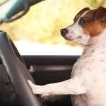 Jack Russell Terrier Dog Enjoying Ride — Stock Photo