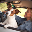 Jack Russell Terrier Dog Enjoying Ride — Stock Photo #2345833