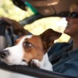 Jack Russell Terrier Dog Enjoying Ride — Stock Photo #2345836
