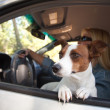 Jack Russell Terrier Dog Enjoying Ride — Stock Photo #2345837