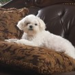Maltese Puppy Relaxing on the Couch — Stock Photo #2347515