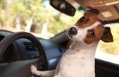 Jack russell terrier cachorro dirigindo um carro — Foto Stock
