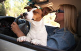Jack Russell Terrier Dog Enjoying Ride — Foto Stock