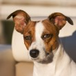 Adorable Jack Russell Terrier Portrait — Stock Photo