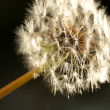 Dandelion Macro Shot - Stock Photo