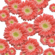 Falling Gerber Daisies Background — Stock Photo