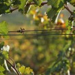 Grape Vines - Stockfoto