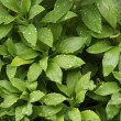 Abstract Green Foliage - Stock Photo