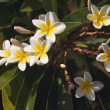 Yellow Plumeria Flowers on the Tree - Stock Photo