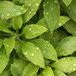 Abstract Green Foliage — Stock Photo #2355902