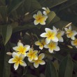 Yellow Plumeria Flowers on the Tree - Photo