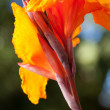 Radiant Canna Lily Blossom - Stock Photo