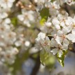 Spring Flowering Tree Blossom — Stock Photo #2356000