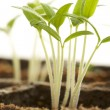 Sprouting Plants - Stock Photo