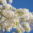 Spring Flowering Tree Blossom — Stock Photo #2356012