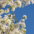 Spring Flowering Tree Blossom — Stock Photo #2356017