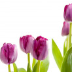 Macro of Purple Tulips with Water Drops — Stock Photo #2356026