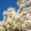 Spring Flowering Tree Blossom — Stock Photo #2356047