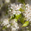 Spring Flowering Tree Blossom — Stock Photo