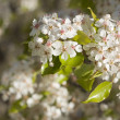 Spring Flowering Tree Blossom — Stock Photo #2356056