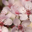 Early Spring Pink Tree Blossoms — Stock Photo