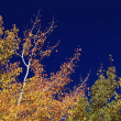 Colorful Aspen Pines Against Deep Blue Sky - Stock Photo