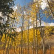 Colorful Aspen Pines Against Deep Blue Sky — 图库照片