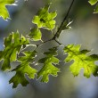 Backlit Oak Leaves — Stock Photo