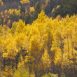 Aspen Pines Changing Color Against the Mountain - Stock Photo