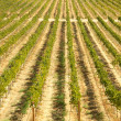Stock Photo: Beautiful Wine Vineyard in California, United St