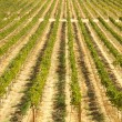 Beautiful Wine Vineyard in California, United St - Stock Photo