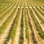 Beautiful Wine Vineyard in California, United St — Stock Photo