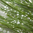 Royalty-Free Stock Photo: Macro Image of Water Drops on Pine Needles