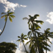 Palm Trees Against a Blue Sky and Clouds - Stock Photo