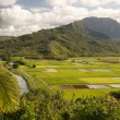 Stock Photo: Hanalei Valley and Taro Fields on Kauai,