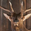 Royalty-Free Stock Photo: Mounted Stag Head on Cabin Wall