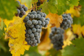 Grapes, Vines and Beautiful Leaves — Stock Photo