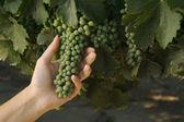 Grapes & Vines — Stock Photo