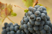 Grapes and Vines — Stock Photo